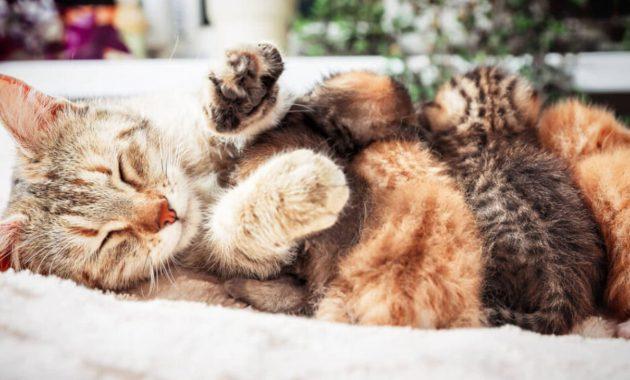 Cara mengatasi kucing stres setelah melahirkan