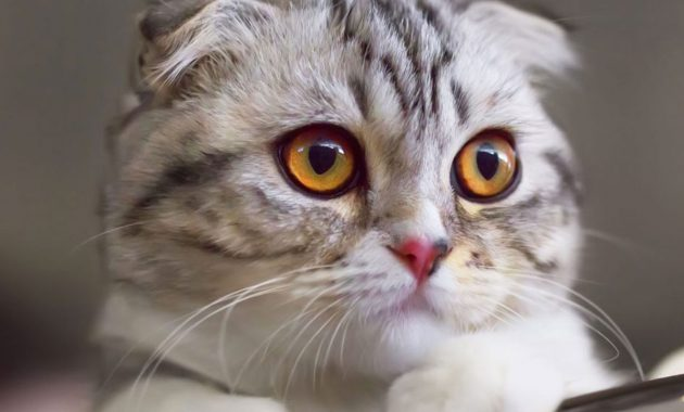 Cara mengawinkan kucing munchkin