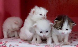 Cara merawat kucing anggora baru lahir