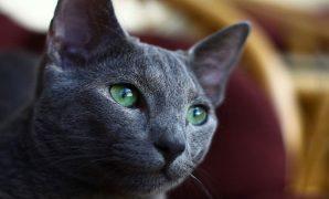 Harga kucing russian blue asli
