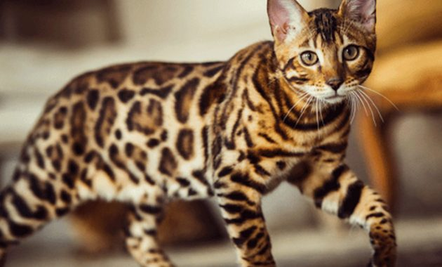 Kucing bengal harga 1 juta