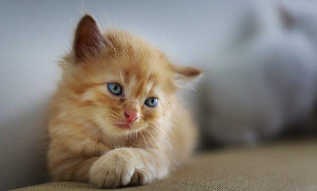 Menyembuhkan kucing muntah