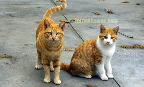 menjodohkan kucing yang baru kenal