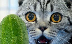 Kenapa kucing takut timun